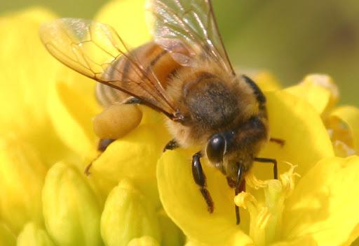 ミツバチの科学?
