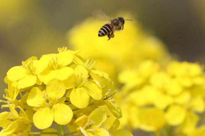 蜜蜂が踊る理由とは?