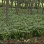 畑で育つわさびは野菜? それとも林産物?